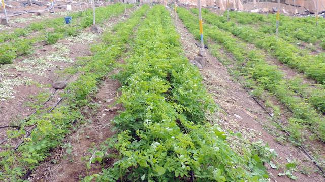 Plantación de moringa oleífera